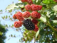 blackberry-20130707_01.jpg