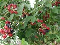 blackberry-20130713_01.jpg