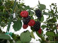 blackberry-20130713_02.jpg