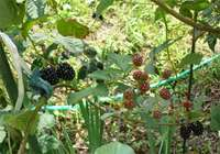blackberry-20140720_01.jpg